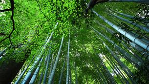 新緑の竹林の写真素材 [FYI01180976]