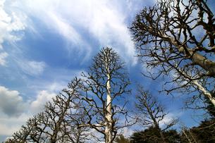 冬のプラタナス並木の写真素材 [FYI01180977]
