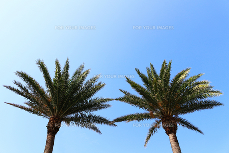 二つ並んだ椰子の木の写真素材 [FYI01180980]