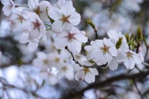 桜の花の写真素材 [FYI01181101]