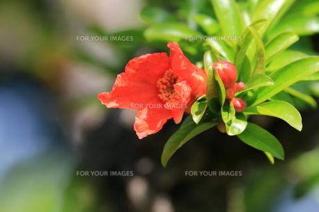 ザクロの花の写真素材 [FYI01181128]