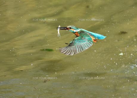 カワセミの捕食の写真素材 [FYI01181129]