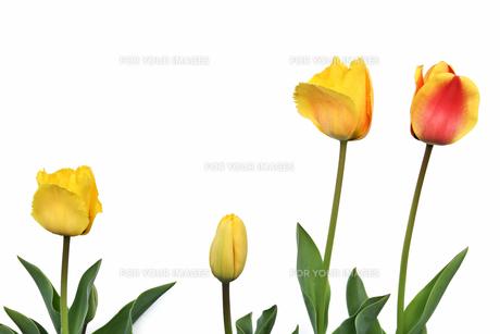 白背景チューリップの写真素材 [FYI01181135]