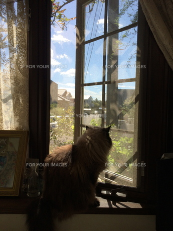 窓から外を眺める猫の写真素材 [FYI01181446]
