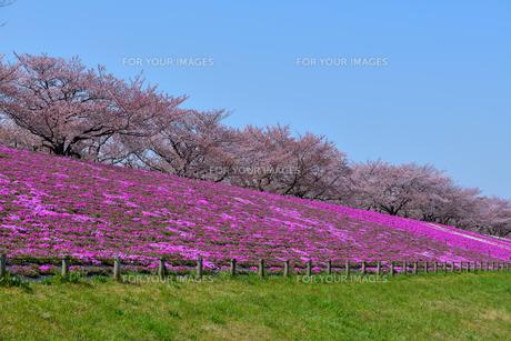 青空と桜と芝桜と芝生の写真素材 [FYI01181638]