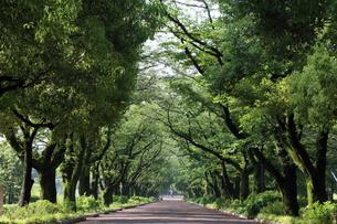 雨上がりの新緑の桜並木の写真素材 [FYI01181642]
