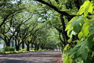 雨上がりのプラタナスと桜並木の写真素材 [FYI01181643]