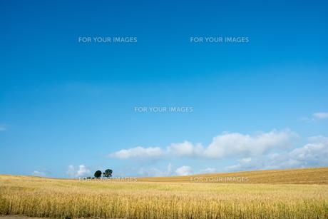 夏の青空と麦畑の写真素材 [FYI01181715]