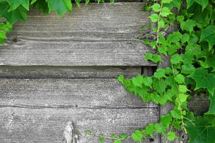 蔦の絡まるウッドフェンスの写真素材 [FYI01181741]