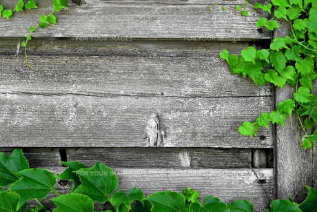 蔦の絡まるウッドフェンスの写真素材 [FYI01181743]