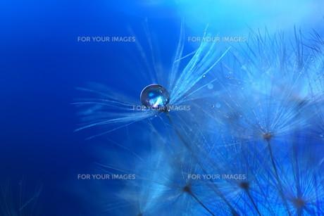 青い背景の綿毛の写真素材 [FYI01181793]