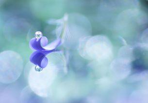 1枚のブルーデージーの花びらに水滴の写真素材 [FYI01181795]