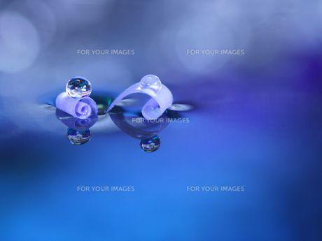2枚のブルーデージーの花びらに水滴の写真素材 [FYI01181796]