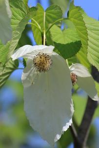 ハンカチの花の写真素材 [FYI01181806]