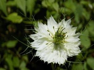 黒種草 ニゲラ Nigellaの写真素材 [FYI01182009]