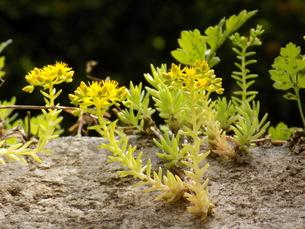 メキシコ万年草の開花 Sedum mexicanumの写真素材 [FYI01182023]