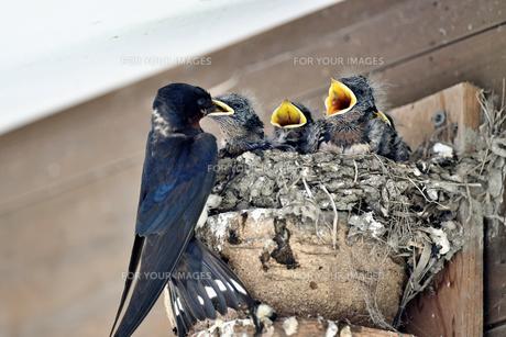 燕の子育ての写真素材 [FYI01182134]