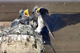 燕の子育ての写真素材 [FYI01182135]