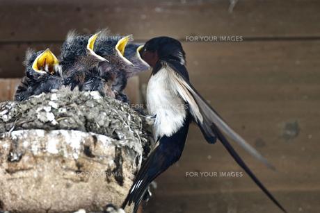 燕の子育ての写真素材 [FYI01182136]