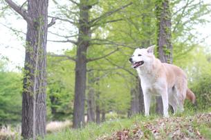 笑顔の犬と新緑の並木道の写真素材 [FYI01182165]