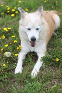笑顔で伏せる犬とたんぽぽの写真素材 [FYI01182166]
