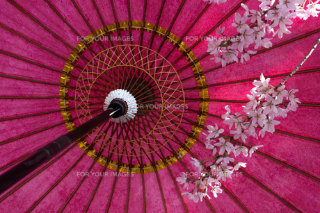 日本の桜。美しいピンクの桜の花、赤い傘の写真素材 [FYI01182181]