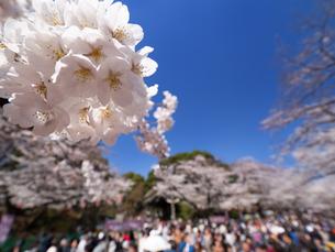 桜が満開の上野公園の写真素材 [FYI01182311]