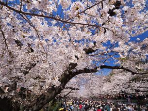 桜が満開の上野公園の写真素材 [FYI01182314]