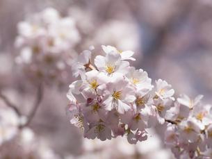 サクラの花 神代曙の写真素材 [FYI01182324]