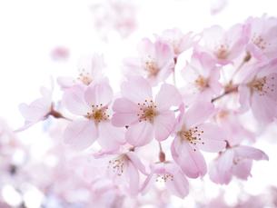 サクラの花 神代曙の写真素材 [FYI01182349]