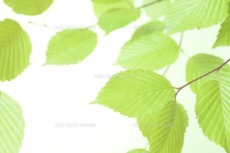 新緑の葉の写真素材 [FYI01182468]