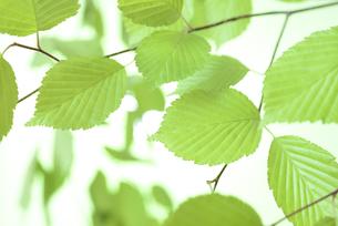 新緑の葉の写真素材 [FYI01182469]