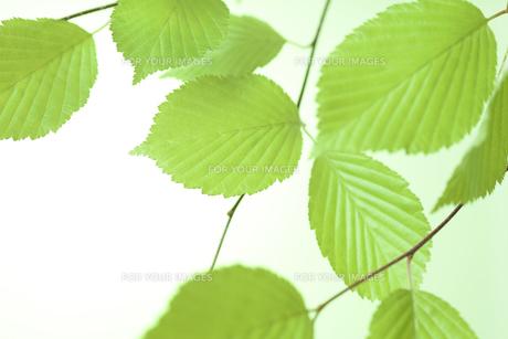 新緑の葉の写真素材 [FYI01182470]