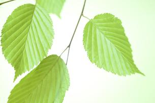 新緑の葉の写真素材 [FYI01182471]