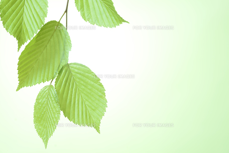 新緑の葉の写真素材 [FYI01182472]