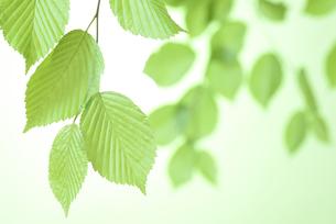 新緑の葉の写真素材 [FYI01182473]