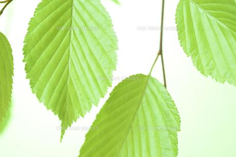 新緑の葉の写真素材 [FYI01182474]