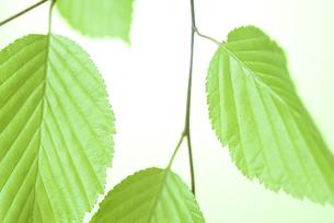 新緑の葉の写真素材 [FYI01182475]