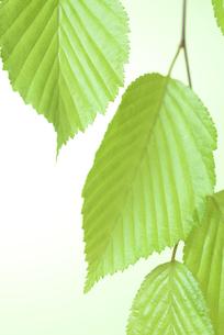 新緑の葉の写真素材 [FYI01182476]