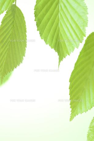 新緑の葉の写真素材 [FYI01182477]
