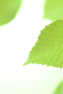 新緑の葉の写真素材 [FYI01182478]