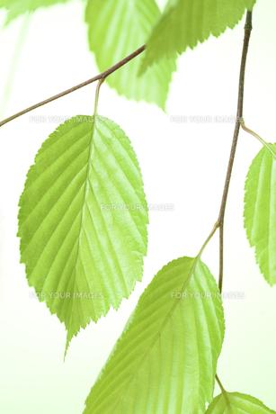 新緑の葉の写真素材 [FYI01182479]