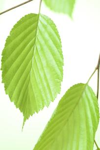 新緑の葉の写真素材 [FYI01182480]
