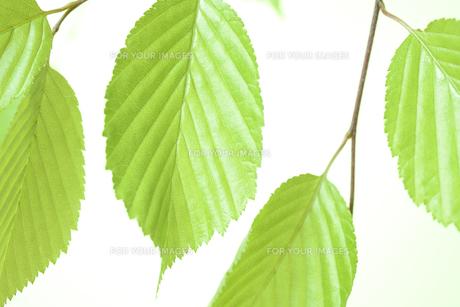 新緑の葉の写真素材 [FYI01182481]