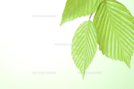 新緑の葉の写真素材 [FYI01182482]