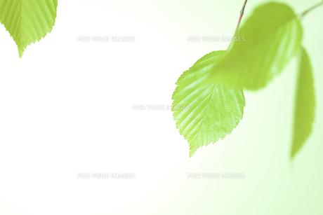 新緑の葉の写真素材 [FYI01182483]