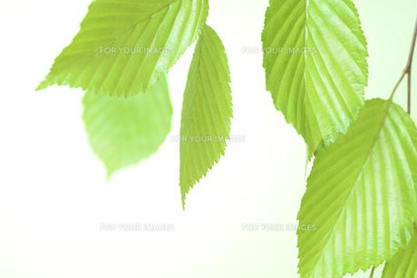 新緑の葉の写真素材 [FYI01182484]
