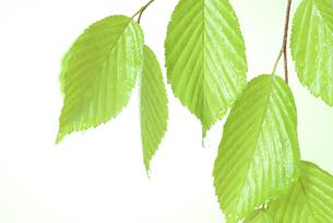 新緑の葉と水滴の写真素材 [FYI01182485]