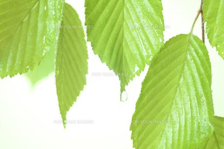 新緑の葉と水滴の写真素材 [FYI01182486]