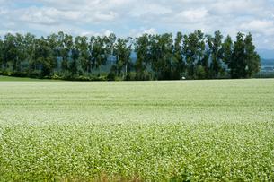 白い花が咲いたソバ畑と夏の空の写真素材 [FYI01182496]